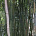 Dying Bamboo